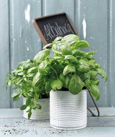 Plantas beneficiosas  Coloca macetas de albahaca y melisa cerca de las ventanas para alejar insectos.