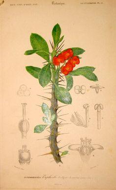 1861 Red Crown of Thorns flower original antique botanical plant print -