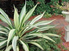Furcraea Gigantea 'Striata' OR Furcraea foetida (Giant False Algave) - slow growing to sun/ls, low moisture (drought tolerant), excellent drainage, leaves not sharp like true algave.