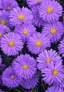 Growing asters.  Blooms in late summer - fall.  Stake the taller varieties.  Add well-rotted organic matter to the soil in the spring & feed & water well to counter disease if transplanting.