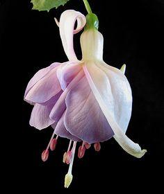 'Sugar Plum Fairy' by Mary Faith
