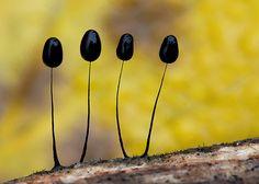 Comatricha nigra | Flickr - Photo Sharing!