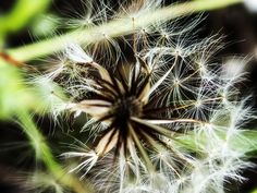 Dandelion by Maria Bruscha on 500px
