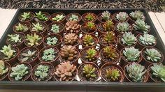 Buy Succulents Online, Plants, Plant, Planets