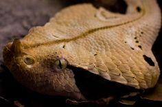 Vibora do Gabão – Répteis | Cobras do Mundo Animal Selvagem