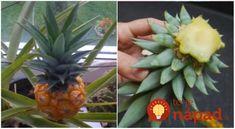 Vypestovať si domáci ananás je jednoduchšie, ako by ste si mohli myslieť. Hoci ide o tropickú rastlinu, v skutočnosti sa dokáže ujať aj vo vašich domácich podmienkach. Dnes vám ukážeme jednoduchý postup, pomocou ktorého si s malou dávkou trpezlivosti môžete aj vy doma dopriať trochu exotiky. 1. Všetko, čo potrebujete, je jeden kus z ananásu... Pineapple, Fruit, Diy, Food, Pinecone, Bricolage, Pine Apple, The Fruit, Meals
