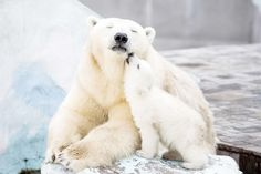 15-maes-ursas-ensinando-seus-filhotes-ursos-15