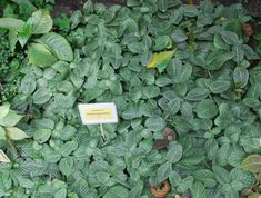 Fittonia albivenis Celery, Gardening, Vegetables, Lawn And Garden, Vegetable Recipes, Veggies, Horticulture