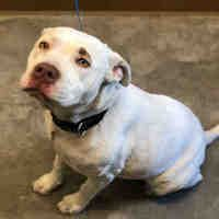 Available Pets At Galveston County Animal Resource Center In Texas City Texas American Staffordshire Terrier Staffordshire Terrier Pet Adoption
