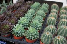 Caring for your succulents the right way...who knew!