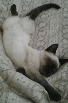 Lilac pointSeal tabby silver SiameseSeal point Flame point Balinese and Tonkinese. Siamese Kittens, Kittens Cutest, Cats And Kittens, Tabby Cats, Funny Kittens, Bengal Cats, White Kittens, Black Cats, Kitty Cats
