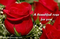 A beautiful rose for you - http://justhappyquotes.com/a-beautiful-rose-for-you/