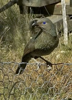 Satin bowerbird sheeshk! Those striking blue eyes