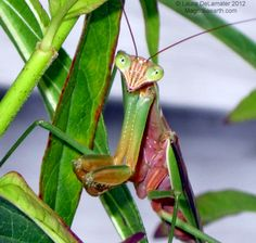In late summer Mantids turn almost pink. I giggle when I think of them as 'sunburned.'