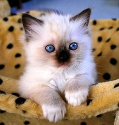 Top 5 of the Most Affectionate Cat Breeds - Cats and dogs - Katzen Fluffy Kittens, Cute Baby Cats, Cute Cats And Dogs, Cute Cats And Kittens, Cute Baby Animals, Kittens Cutest, Ragdoll Kittens, Tabby Cats, Bengal Cats