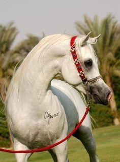 Horse Pedigree Database | Moulay Pasha | Arabian, Egyptian | Association of Breeders of the Arabian Horse (VZAP)