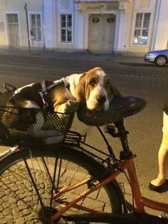 20 Most Popular BuzzSharer Basset Hound Pics Basset Puppies, Hound Puppies, Dogs And Puppies, Doggies, Beagles, Chien Basset Hound, I Love Dogs, Cute Dogs, Animals Beautiful