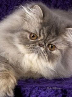 blue black tabby persian cat - Google Search