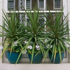 Choose sleek and similarly shaded ceramic flower pots to offset the plant's tangle of chaotic leaf growth Privacy Plants, Patio Privacy, Patio Plants, Potted Plants, Garden Plants, Window Box Plants, Window Boxes, Window Sill, Window Coverings