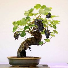 10 Of The Most Important Steps To Read When Growing A Grape Tree Do you enjoy grapes and wine but not their high price? Enjoy the fruit & make your own wine by growing a grape tree or grapevine in your backyard! Bonsai Fruit Tree, Dwarf Fruit Trees, Bonsai Plants, Bonsai Garden, Plantas Bonsai, Grape Tree, Grape Vines, Indoor Bonsai, Indoor Plants