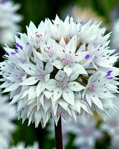 Allium amplectens Graceful Beauty (flowers June)