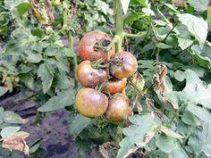 Mildiou sur pied de tomate