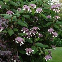 Hydrangea sargentiana (Hortensia), grote bloemschermen, groot grijsgroen behaard, ruw, blad.  Groeit recht naar boven,  mooie plant