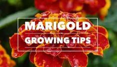 Growing Marigolds: Tips and Tricks - Gardening Channel Landscaping Tips, Front Yard Landscaping, Growing Marigolds, Marigold Flower, Annual Flowers, Garden Care, Easy Garden, Plant Care, Vegetable Garden
