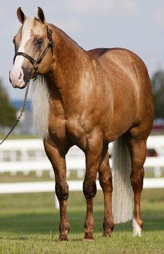 Wimpys Little Step, palomino quarter horse stallion Quarter Horses, American Quarter Horse, All The Pretty Horses, Beautiful Horses, Animals Beautiful, Horse Photos, Horse Pictures, Palomino, Reining Horses