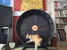 City the Kitty cheats on his Cat Wheel Workout
