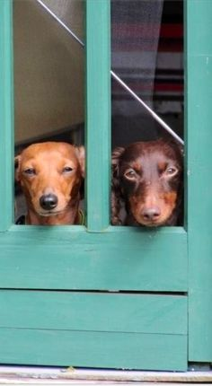 Dachshund watchdogs