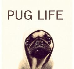 I hate pugs but I have to say this one is cute.
