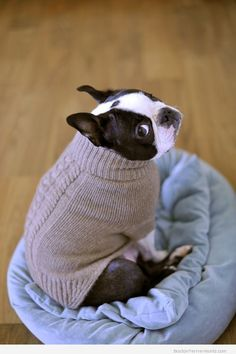 Is This Sweater Necessary?! – Boston Terrier Pictures ❤❤❤ from BostonTerrierWorld.com