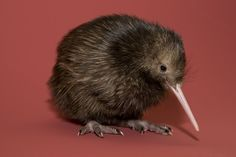 A kiwi bird they can't fly because they have no wings :( but they are cute :)