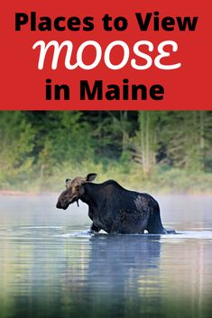 Where to see Moose in Maine? Here are moose facts and the best places to see moose in Maine Baxter State Park, Moosehead Lake, Golden Road to name a few Travel With Kids, Family Travel, Family Vacations, Rangeley Lake, Maine Road Trip, Baxter State Park, Northern Maine, Visit Maine, New England Travel