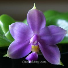 """Phalaenopsis Violacea """"Gulfstream Blue"""" and other indigos here."""