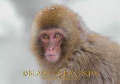 Snow Monkey Japan Photography Tour Images by Blain Harasymiw Photography
