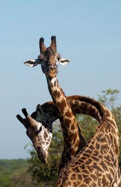 Giraffe Necking by David Swansom.