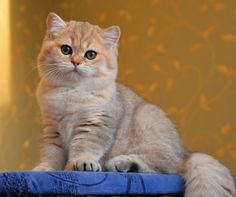 George Chumley, Shaded Golden British Shorthair, 3 months old