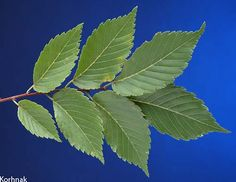 Elm Tree Leaf | googlized elm tree leaf and that s what it looks like