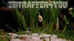 Schneeglöckchen Galanthus nivalis snowdrop Blooming Timelapse Zeitraffer