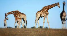 Our Giraffe family