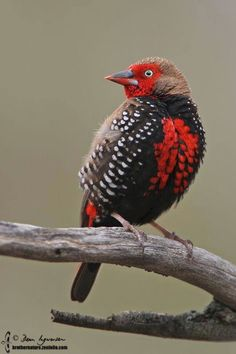 painted finch (Emblema pictum), Australia