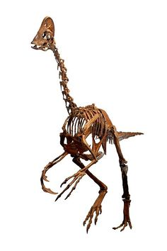 Anzu is agenus of largeoviraptorosauriandinosaursfrom the lateCretaceous(66million years ago). characterized by a toothless beak, a prominent crest, long arms ending in slender, relatively straight claws, long powerful legs with slender toes, and a relatively short tail.It measured about 9.8ft to 11ft long, up to 4.9ft tall at the hips and 440lb to 660lb in weight, and was the largest North American oviraptorosaur.