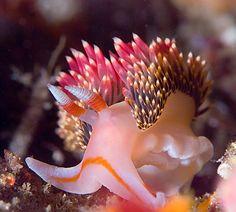 Nudibranchs, aka Sea Slugs - Facts, Habitat, Diet, Underwater Photography Tips and Dive Sites By Scott Gietler Underwater Creatures, Underwater Life, Ocean Creatures, Underwater Photos, Beautiful Sea Creatures, Sea Snail, Sea Slug, Beautiful Fish, Sea World