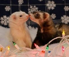 This makes me miss Lilly and Chloe so much! Ferrets are so much fun!