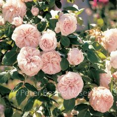 (Bourbon Climber) A superb rose of lovely blush white with face powder pink shadings. Each bloom is beautifully proportioned and opens out to a flat, quartered shape. Rare Flowers, Amazing Flowers, Pink Flowers, Fragrant Roses, Shrub Roses, La Malmaison, Gladiolus Bulbs, Famous Gardens, Garden Bulbs