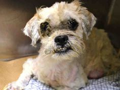HEAVEN – A1119249  **HIGH SUSPECT CRUELTY**  **HOLD FOR LEGAL RELEASED**    FEMALE, CREAM, SHIH TZU MIX, 8 yrs  STRAY – ONHOLDHERE, HOLD FOR LEGAL 07/21/2017
