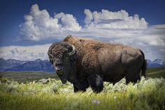 American Buffalo Bison Grazing by Yellowstone National Park in Wyoming A Fine Art Animal Nat White Bison, Buffalo Animal, Western Photography, American Bison, Wild Creatures, Native American Indians, Native Americans, Wildlife Art, Western Art
