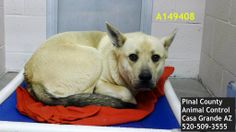 Casa Grande, AZ URGENT BEAUTY!! This DOG - ID#A149408 Due Out Date: 11/28/2013 I am a female, yellow and black Chow Chow and German Shepherd Dog. The shelter staff think I am about 2 years old. I have been at the shelter since Nov 24, 2013.  https://www.facebook.com/photo.php?fbid=431952593573687&set=a.397881533647460.1073741849.120830141352602&type=3&theater